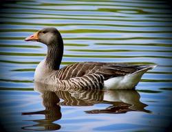 wildlife birds Canadian Goose and Wood Pidgeon