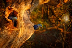 Wildlife Brazil. Hyacinth Macaw, Anodorhynchus hyacinthinus, blue parrot. Portrait big blue parrot, Pantanal, Brazil, South America. Beautiful rare bird in the nature habitat. Parrot in the nest.