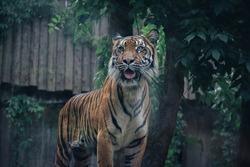 wildlife feline carnivore big cat predator animal tiger zoo