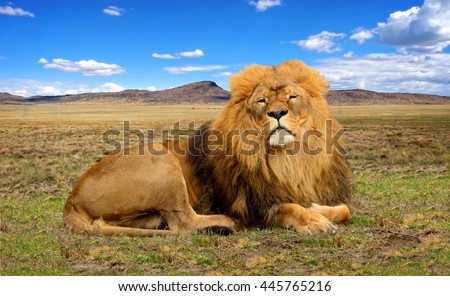Wildlife in Africa. Stunning lion in African savannah with hills in background. Close up. Amazing South African landscape. Nice photo of African safari and travel to National Parks of Africa