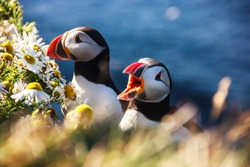 Wildlife in Iceland: Icelandic Puffin bird couple standing in flower bushes on rocky cliff on sunny day at Latrabjarg, Iceland, Europe. Wild Puffins live near the wilderness of Atlantic ocean.