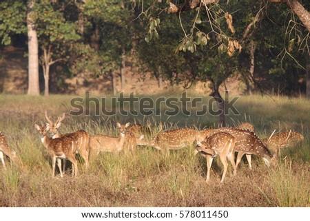 wildlife in Kan ha National Park  , India . #578011450
