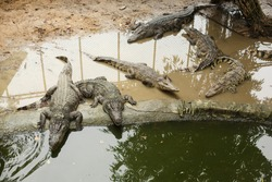 Wildlife Life. A group of alligators or crocodiles lie on the shore near a pond with green water. Crocodile farm.
