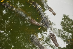 Wildlife Life. A group of alligators or crocodiles swim in a pond or in a river with green water. Crocodile farm.