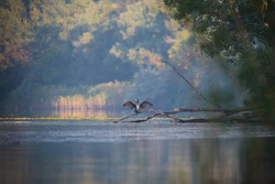Wildlife morning landscape with river and great black cormorant bird on tree branch on autumn background