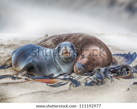 Wildlife photo of a New Zealand sea lions - stock photo