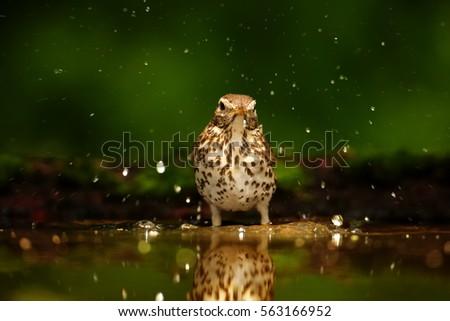 wildlife photo of  song thrush  ...