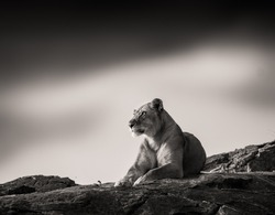 Wildlife photography or images of African Wild Lion from Masai Mara, Kenya. Images of African Lion on the rocks.