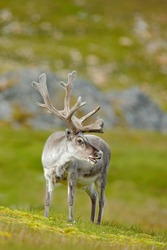Wildlife scene from nature. Wild Reindeer, Rangifer tarandus, with massive antlers in the green grass, Svalbard, Norway.