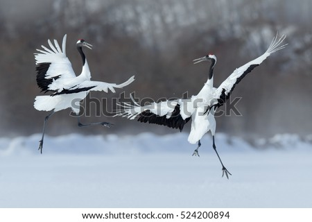 Wildlife scene from snowy nature. Dancing pair of Red-crowned cranes with open wings in flight, Hokkaido, Japan. - Shutterstock ID 524200894