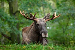 Wildlife scene from Sweden. Moose lying in grass under trees. Alces alces in the dark forest during rainy day. Beautiful animal in the nature habitat.