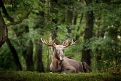 Wildlife scene from Sweden. Moose or Eurasian elk, Alces alces in the dark forest during rainy day. Beautiful animal in the nature habitat. Animal in the green vegetation.
