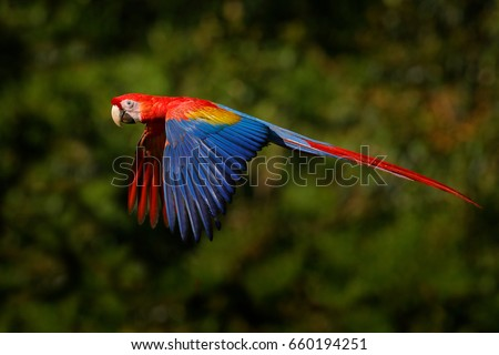 Shutterstock Wildlife scene from tropic nature. Red bird in the forest. Parrot flight in the green jungle habitat. Red parrot in fly. Scarlet Macaw, Ara macao, in tropical forest, Costa Rica.