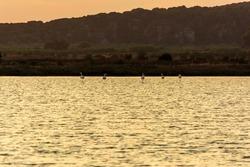 Wildlife scenery view with beautiful flamingos wandering at sunset in gialova lagoon, Messinia, Greece.