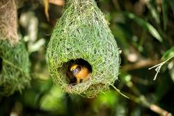 Wildlife - Weaver Birds Nest on Bamboo Tree in Nature Outdoor