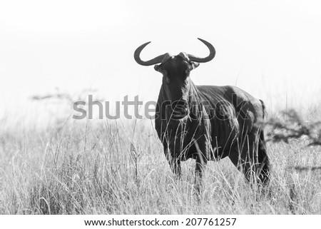 Wildlife Wildebeest Safari Black White Vintage Wildlife animal blue wildebeest on grassland plateau in black white vintage tone