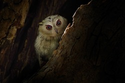 Willdife India. Indian scops owl, Otus bakkamoena, rare bird from Asia, hidden in the tree. Bird from India. Fish owl sitting on tree in the dark green tropic forest. bird in the tree nest hole.