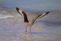 Willet Shorebird With Wings Full Spread Trying To Outrun The Incoming Tide