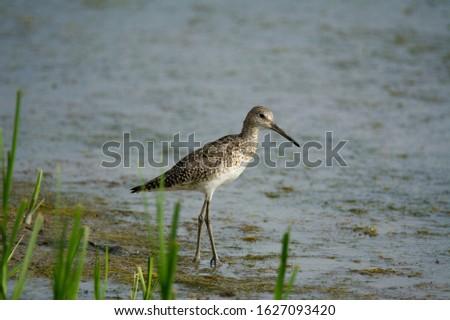Willet strutting along the shoreline of a marsh