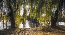 Willow branches over the water