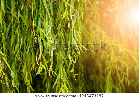 Willow branches with green leaves in the rays of the evening sun Stock fotó ©