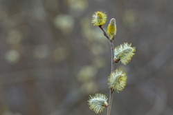 Willow Catkins in Early Spring. Pussy willow spring time background. willow branches spring background, abstract blurred view of spring. Soft background with pussy willow catkins.