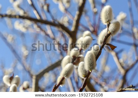Willow catkins in spring. Willow catkins tree. Stock fotó ©