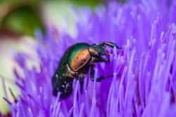 Willow flea beetle, Crepidodera aurata on a flower