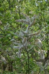 Willow fluff on branches. Fluffy poplar seeds. Selective soft focus. white fluff flying from tree branches causing seasonal allergies
