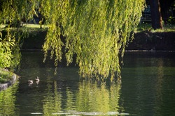 Willow leaves reflected on the water surface