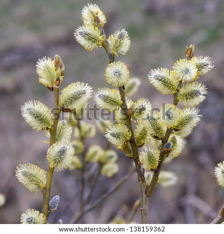 Willow (Salix caprea) branches with buds blossoming in early spring
