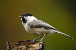 Willow tit in a tree