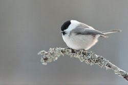 Willow tit on a branch