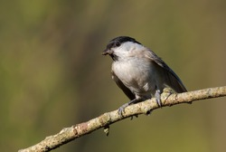 Willow Tit - Parus montanus, small shy perching bird from European forests and woodlands, Zlin, Czech Republic.