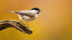 Willow tit, poecile montanus, sitting on branch in autumn nature with copy space. Little bird looking on bough in fall. Beautiful feathered animal observing on wood with golden background.