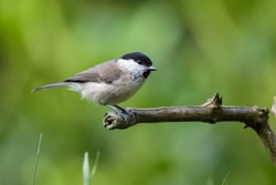Willow tit sitting on a branch