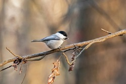 Willow tit sitting on a branch. The willow tit (Poecile montanus) is a passerine bird in the tit family, Paridae.