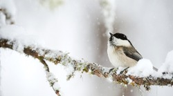 Willow tit under a heavy snowfall in a cold winter