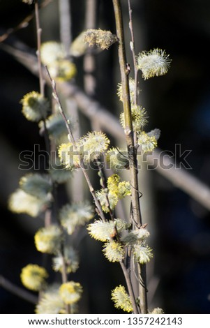 Willow tree branch with catkins. Depth of field background. Water and tree branch. Spring time scene. Easter. Sun light fresh bright natural detailed botany. Dark background.  #1357242143
