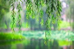 Willow tree branches drifting like a curtain of nature in the air In front of a water garden