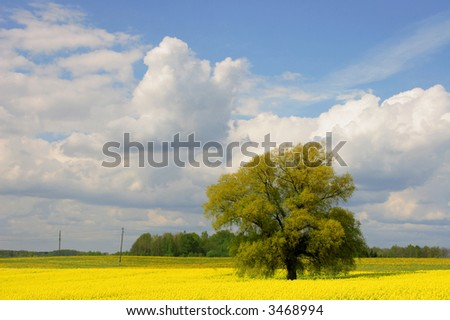 willow tree in canola field, summertime, Latvia