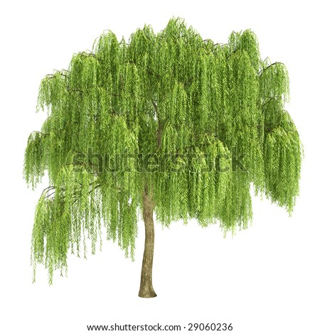 Babylonian Willow Tree Willow Tree Isolated
