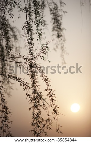 willow tree leaf in a sunset lakeside