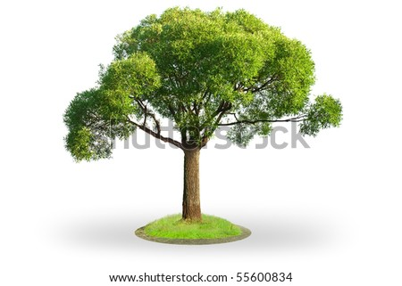 Willow tree (Salix) isolated on white background