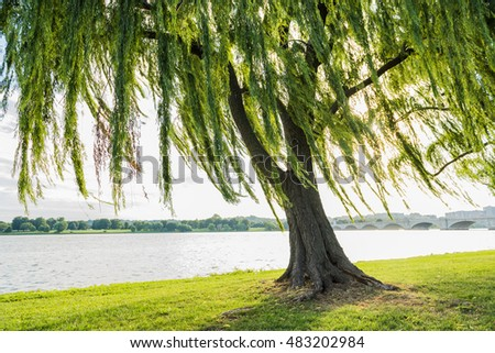 Willow tree swaying in wind by Potomac River and Arlington Memorial bridge in Washington DC