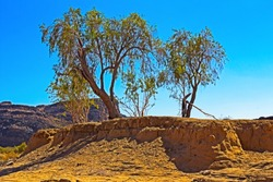 Willow trees growing out of sandy bank on flood plain next to Orange River, Northern Cape, South Africa