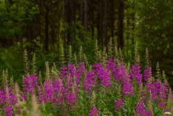 Willowherb pink Epilobium flowers of fireweed in bloom. Flowering willow-herb or blooming sally. Wild medicinal herbal tea of willow plant at Finnish forest.