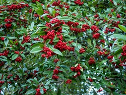 Willowleaf cotoneaster (Cotoneaster salicifolius) with abundant red berries and green leaves
