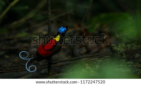 wilson's bird of paradise competing to attract a female by dancing in the gloom of the forest floor #1172247520
