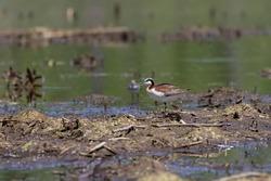 Wilson's phalarope (Phalaropus tricolor) is a small wader. Female   in a breeding plumage.